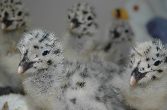 IBR-Western Gull chicks