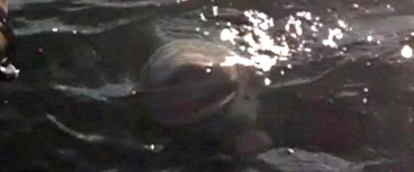Lake Ontario Shark